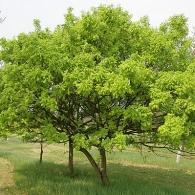 Дуб черешчатый «Umbraculifera»