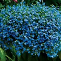 lobelia_techno_blue
