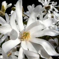 Magnolia_stellata_Waterlily