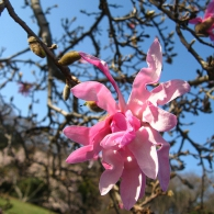 Magnolia_stellata_'Rubra'