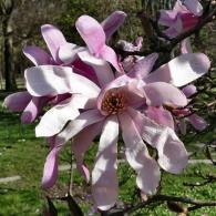 Magnolia_stellata_Rosea