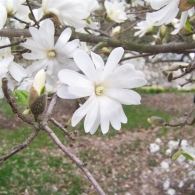 Magnolia_stellata_Royal_Star