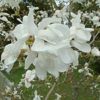 magnolia_kobus