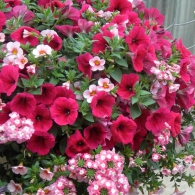 Mixed_Container_with_Petunias,_Calibrachoas_and_Verbena