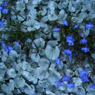 'Silver_Falls'_Dichondra_mixed_with_Annual_Lobelia
