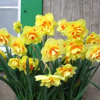 Narcissus_Tahiti