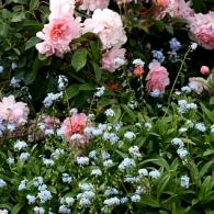 myosotis_palustris_rose