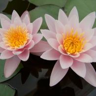 Водяная лилия «Марлиака Карнея»