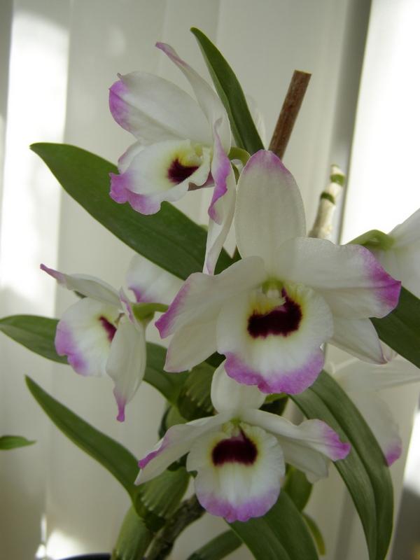 уход за домашней орхидеей в домашних условиях после цветения