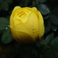 Роза плетистая 'Night Light'