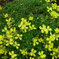 Эризимум 'Dwarf Yellow Wallflowe'r