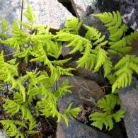 Gymnocarpium-dryopteris