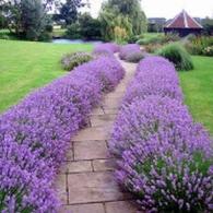 garden-path-lavender-Design