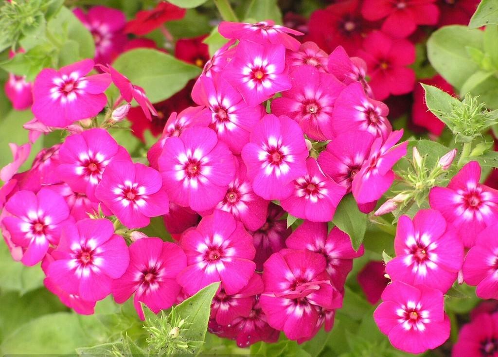 Уход и посадка цветка флокс