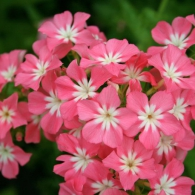"Флокс ""Phlox of sheep"""