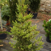Picea_abies_WillsZwerg_