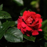 _'Scarlet'