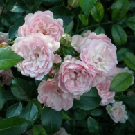 'The Fairy rose'