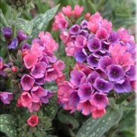 Pulmonaria_Raspberry_Splash
