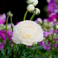 ranunculus_photo