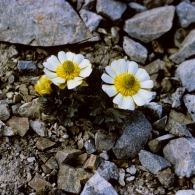 Ranunculus-Haastii