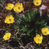Ranunculus-altaicus