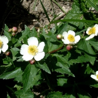 Ranunculus-aconitifolius