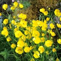 Ranunculus-acris