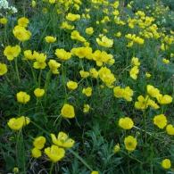 Ranunculus-propinquus