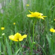 Ranunculus-lingua