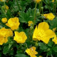 Ranunculus-reptans