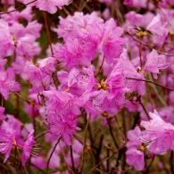 rhododendron_mucronulatum