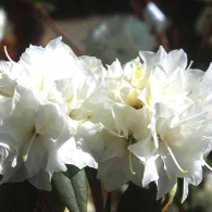 rhododendron-dauricum-double-white__1139