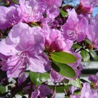 rhododendron_ledebourii