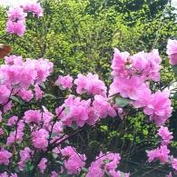 rhododendron_sichotense