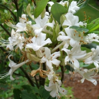 rhododendron_viscosum