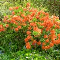 rhododendron_japonicum