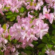 rhododendron_schlippenbachii