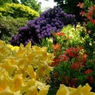 Великолепие цветущих рододендронов