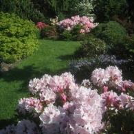 Рододендроны в кустарниковой композиции