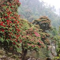Рододендроны в горном лесу