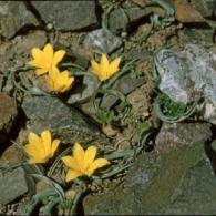 sizedKirgisien Tulipa dasystemon bland sten2239