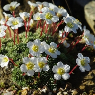 Prince-Hal-Saxifraga-burseriana-in-the-Alpine-House