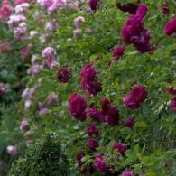 Нюансные сочетания при посадке роз