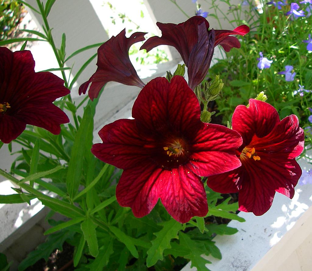 бархат сальпиглоссис выращивание из семян фото могут применяться сочетании