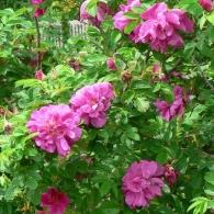 Роза морщинистая «Ханза»