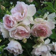 роза «Абельзиедс»