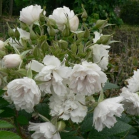 Роза ругоза «Уайт Гроотендорст»