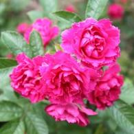 Роза морщинистая «Гроотендорст Сюпрем»