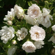 Роза морщинистая «Уайт Гроотендорст»